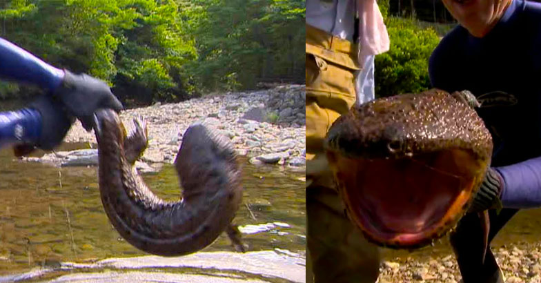 catching a giant japanese river monsters by hand